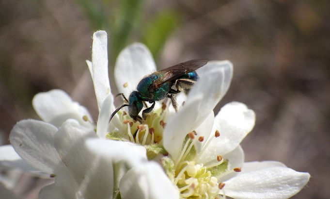 Picture of a green sweat bee on Saskatoon bush blossoms