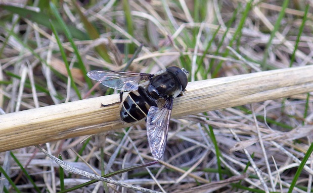 A black-shouldered flower fly (Eristalis dimidiata) on dry grass. Photo by Sarah Semmler.
