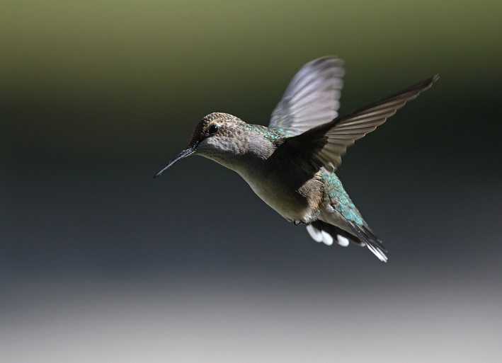 A ruby-throated hummingbird in flight. Photo by Sandra Coté.