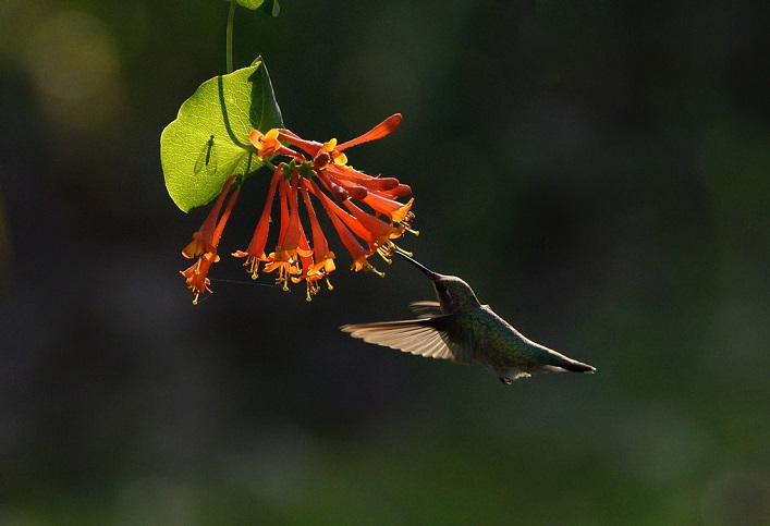 A ruby-throated hummingbird feeds from a honeysuckle vine. Photo by Sandra Coté.