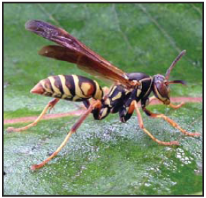 picture of a wasp