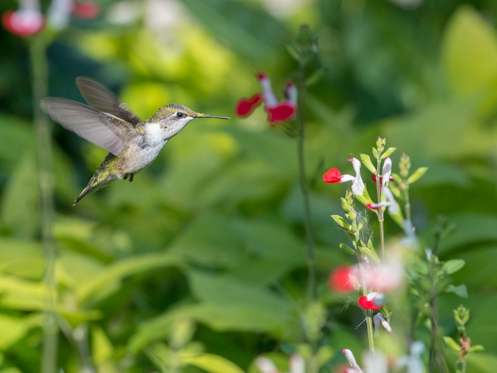 A ruby-throated hummingbird approaches a flower to feed. Pollen can be seen on the top of the beak. Photo by William Rideout.