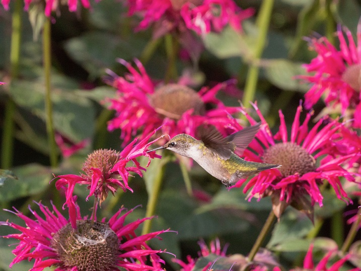 Ruby-throated hummingbird feeding from a cultivar related to wild bergamot (Monarda fistulosa). Photo by William Rideout.