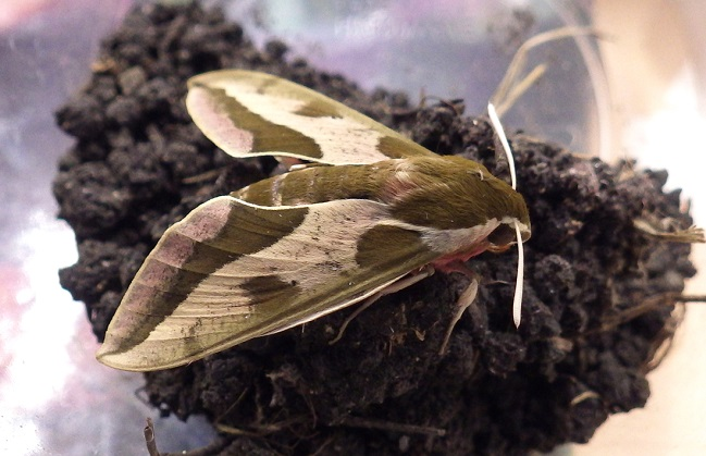A spurge hawkmoth. This moth was introduced to North America to control the invasive weed Leafy Spurge