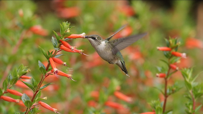 A hummingbird feeds from a flower. Photo by Sujata Basu.