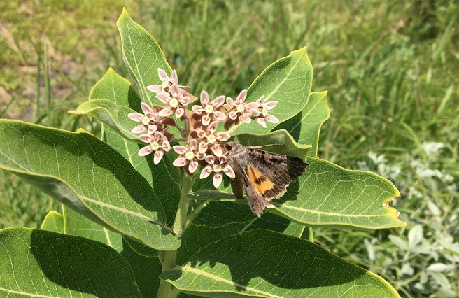 An underwing moth feeding on nectar from common milkweed